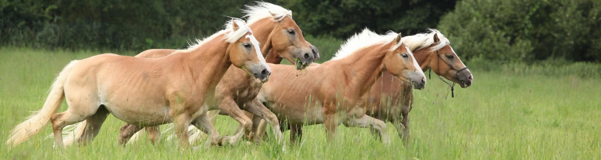 Haflinger paarden